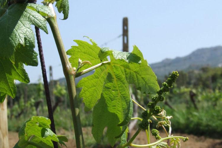 Wijngaard Vini Mura